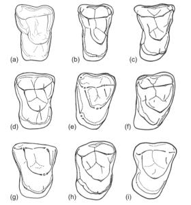Comparison of Amamria and several putative anthropoid molars. A) Afrotarsius libycus, B) Eosimias centennicus, C) Phenacopithecus krishtalkai, D) Bahinia pondaungensis, E) Amamria tunisiensis, F) Proteopithecus sylviae, G) Talahpithecus parvus, H) Catopithecus browni, I) Oligopithecus rogeri